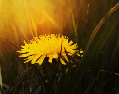 Dandelion, poetry written by Anupama Mishra at Spillwords.com