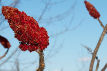 The Old Sumac, poetry written by Huntersjames at Spillwords.com