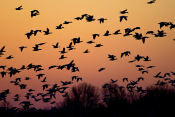 Wild Geese, flash fiction by Mir-Yashar Seyedbagheri at Spillwords.com