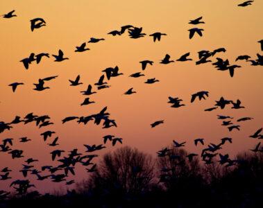 Wild Geese, flash fiction by Mir-Yashar Seyedbagheri at Spillwords.com