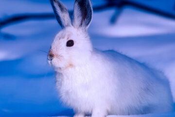 Arctic Hare, a haiku written by John R. Cobb at Spillwords.com