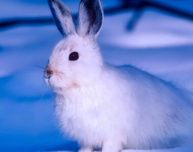 Arctic Hare, a haiku written by John R. Cobb at Spillwords.com