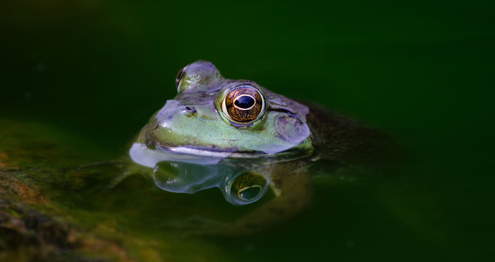 Leaping Frogs, a haiku poem by Alta H Mabin at Spillwords.com
