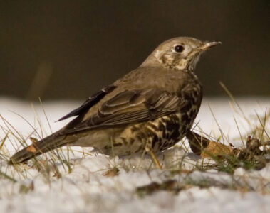 The Darkling Thrush, a poem by Thomas Hardy at Spillwords.com