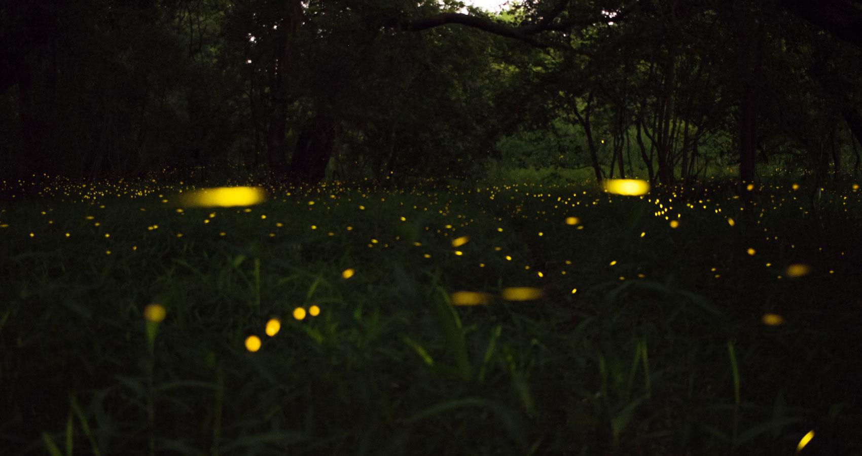 Fireflies, a haiku written by Sunita Sahoo at Spilwords.com