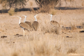 Great Indian Bustard's Plea by Nishand Venugopal at Spillwords.com