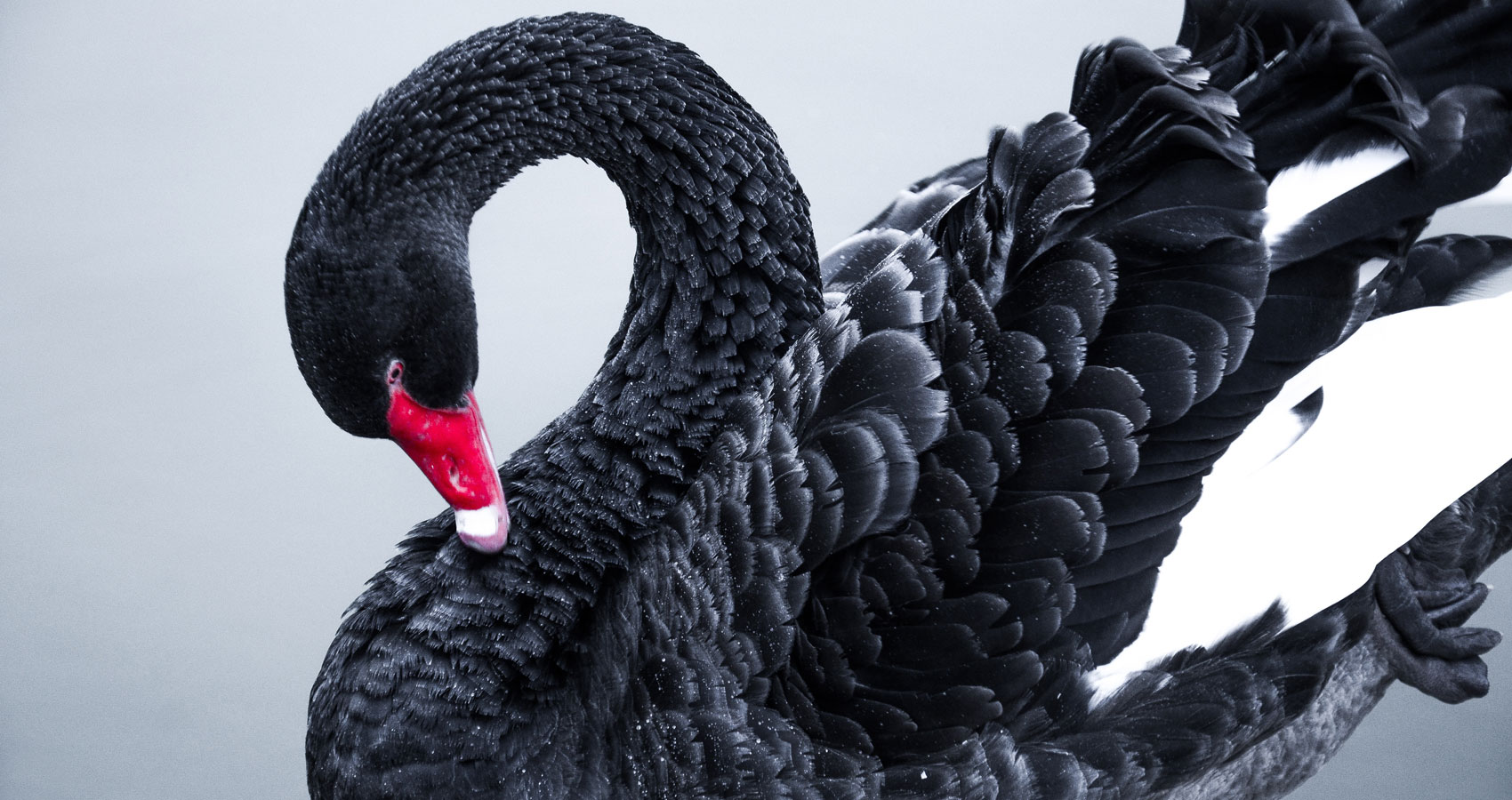 Black Swans, poetry written by Elizabeth Barton at Spillwords.com