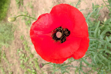 Poppy, a poem written by Wolfgang H. at Spillwords.com