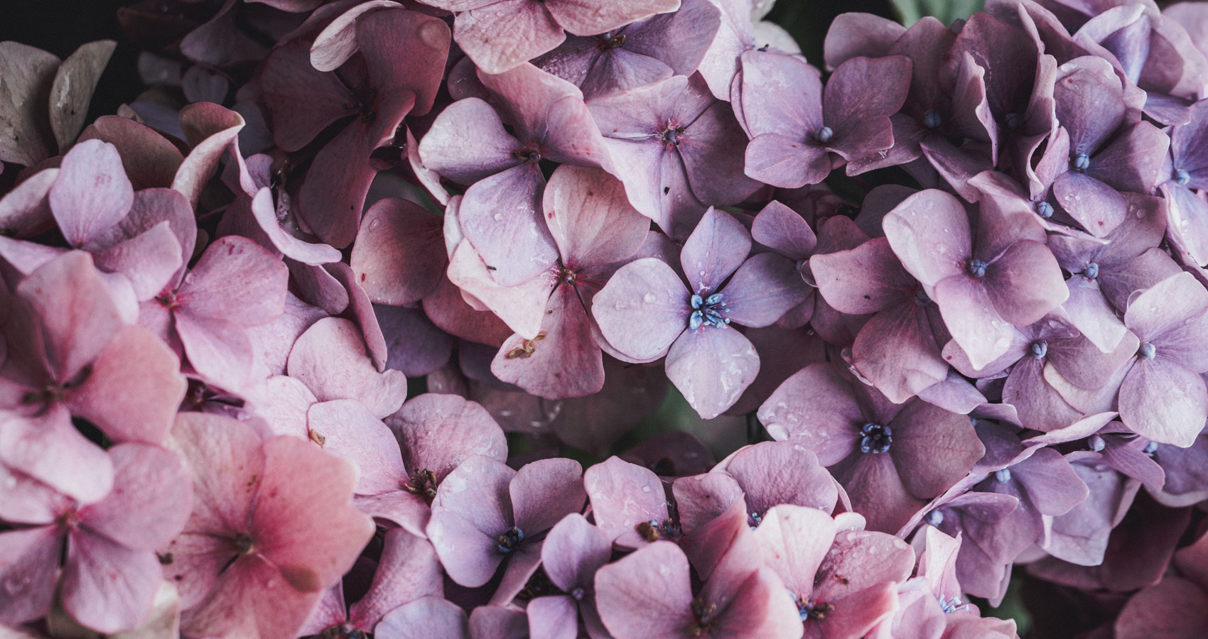 Early Lilac Spring, poetry written by lulia Halatz at Spillwords.com