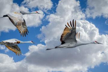 Migrating Cranes, a haiku written by Judit Katalin Hollos at Spillwords.com