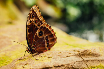 Do Butterflies Forget? micropoetry by Tony Gentry at Spillwords.com
