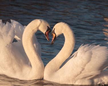 Zwei weiße Herzen, micropoetry by Boris Simonovski at Spillwords.com