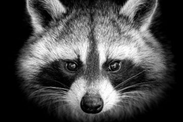 I Have No Interest In Shooting Raccoons, poetry by Louis Dorwaldt at Spillwords.com
