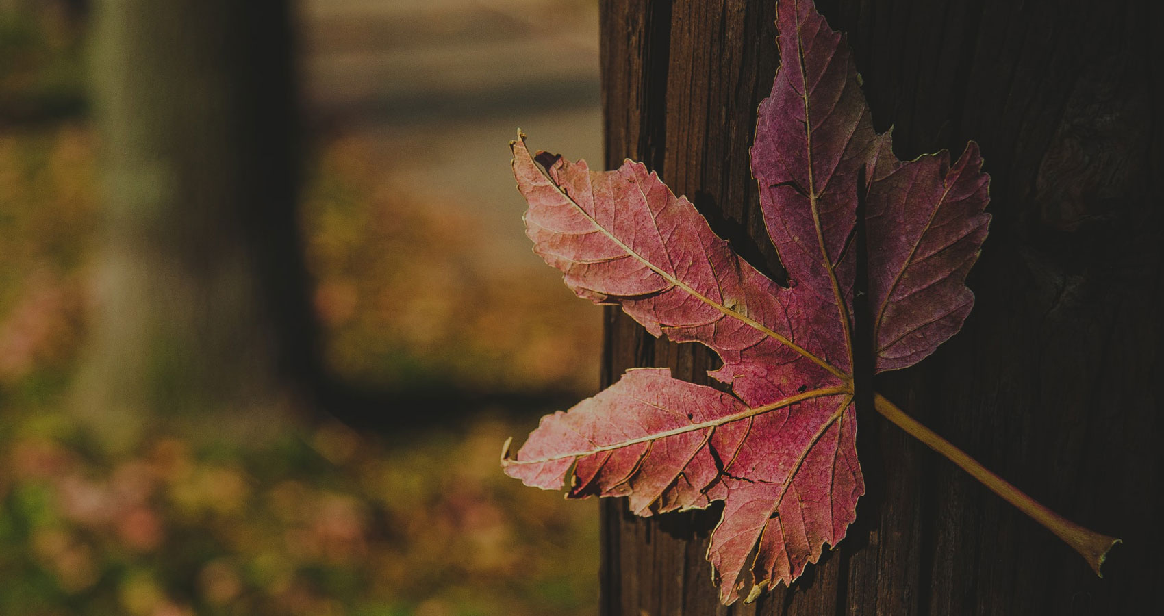 Oh Maple Leaf… Oh Lives to Leave, poetry by Tamar Gvelesiani at Spillwords.com