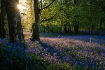 The Bluebells, a poem written by Ian Fletcher at Spillwords.com