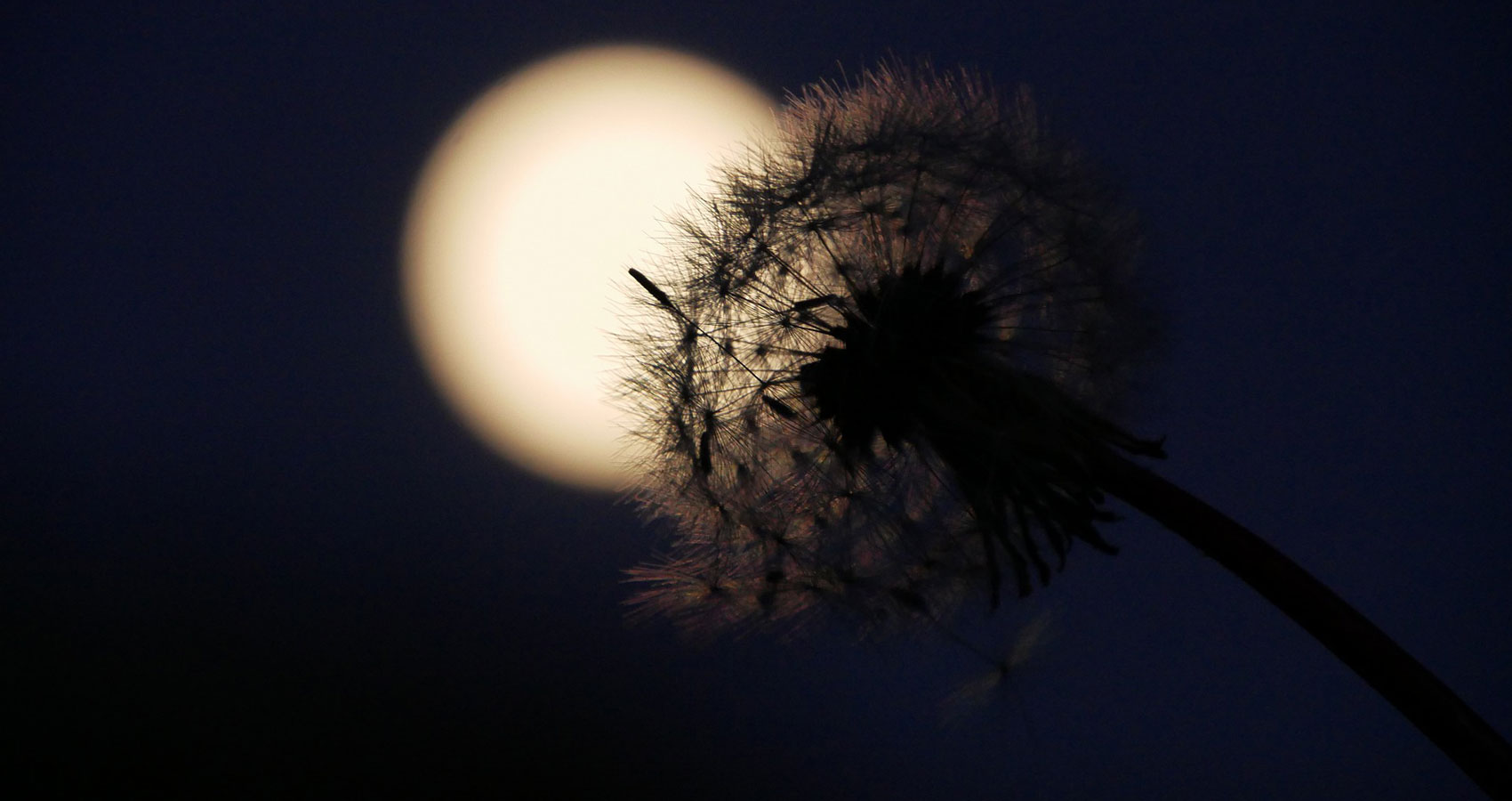 The Dandelions, dark poetry by Iluvia Triste at Spillwords.com