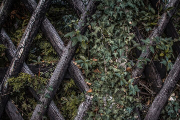 The Seasons of Ivy, a poem by Rachel Grosvenor at Spillwords.com