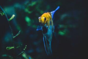 Angel Fish, micropoetry written by J C Thomas at Spillwords.com