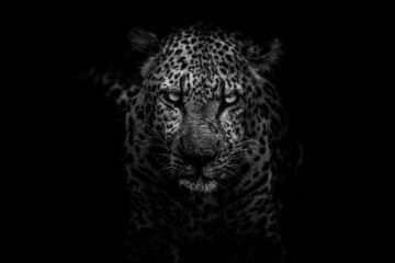 Leopard, a poem written by Stanley Wilkin at Spillwords.com