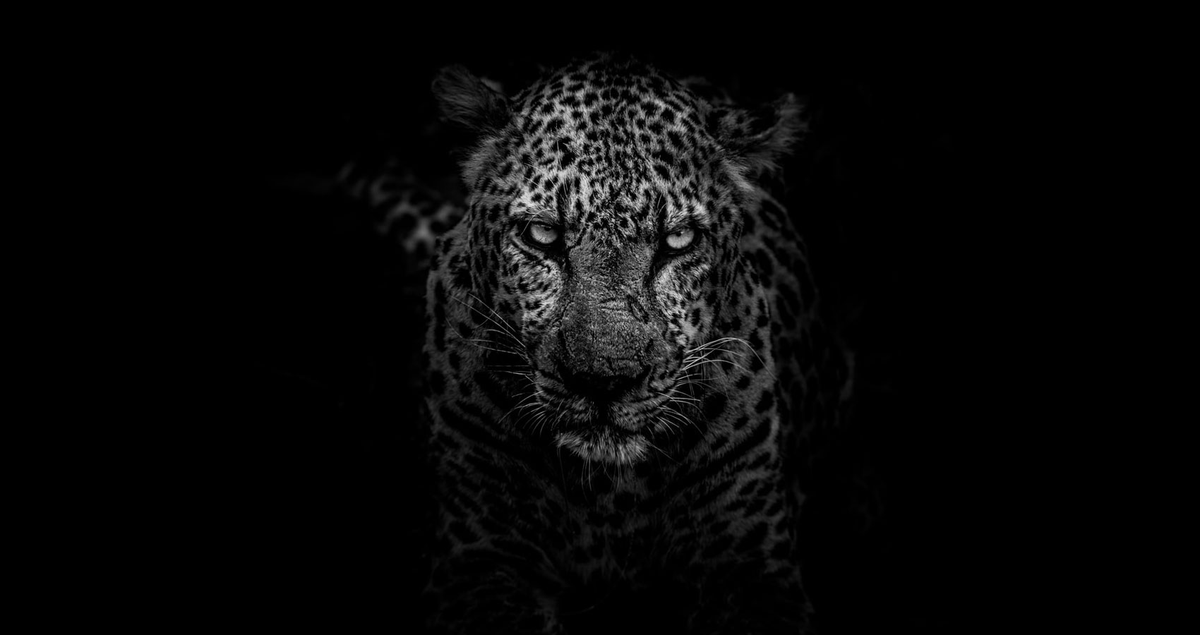 Leopard, a poem written by Stanley Wilkin at Spillwords.com