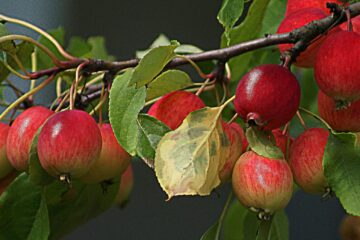 Paradise Apples, a poem by Irena Ewa Idzikowska at Spillwords.com