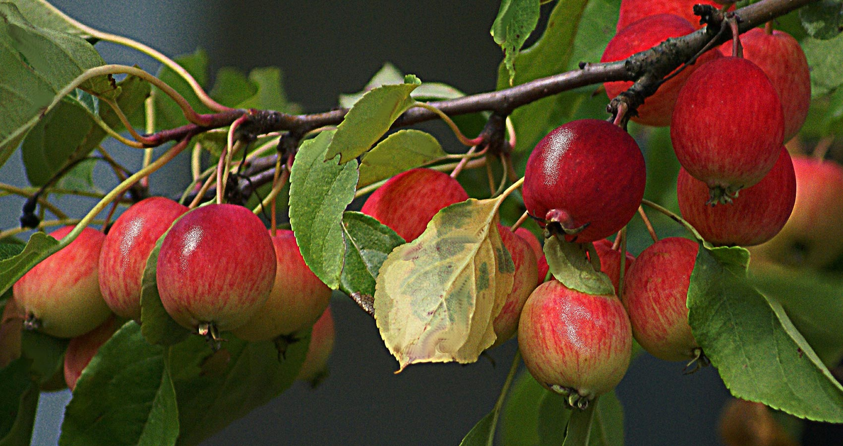 Paradise Apples, a poem by Irena Ewa Idzikowska at Spillwords.com