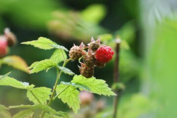RASPBERRIES, short story by Dianne Moritz at Spillwords.com
