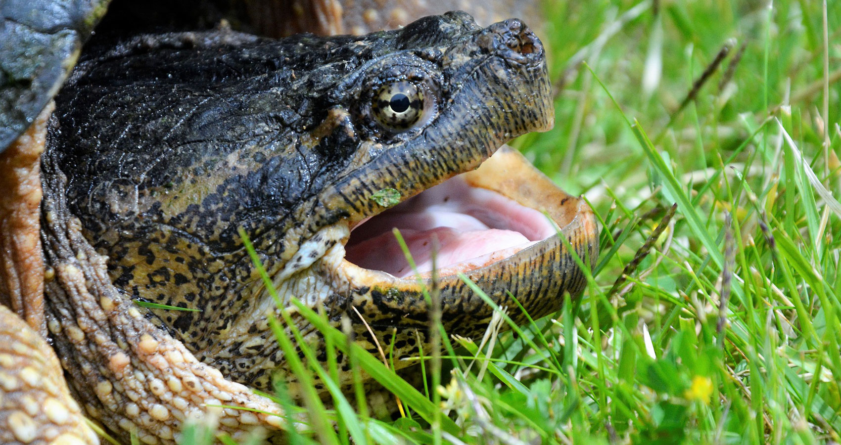 Snapping Turtle, a haiku written by John R. Cobb at Spillwords.com