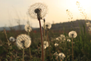 Wishing On Dandelions, poetry by Andrada Costoiu at Spillwords.com