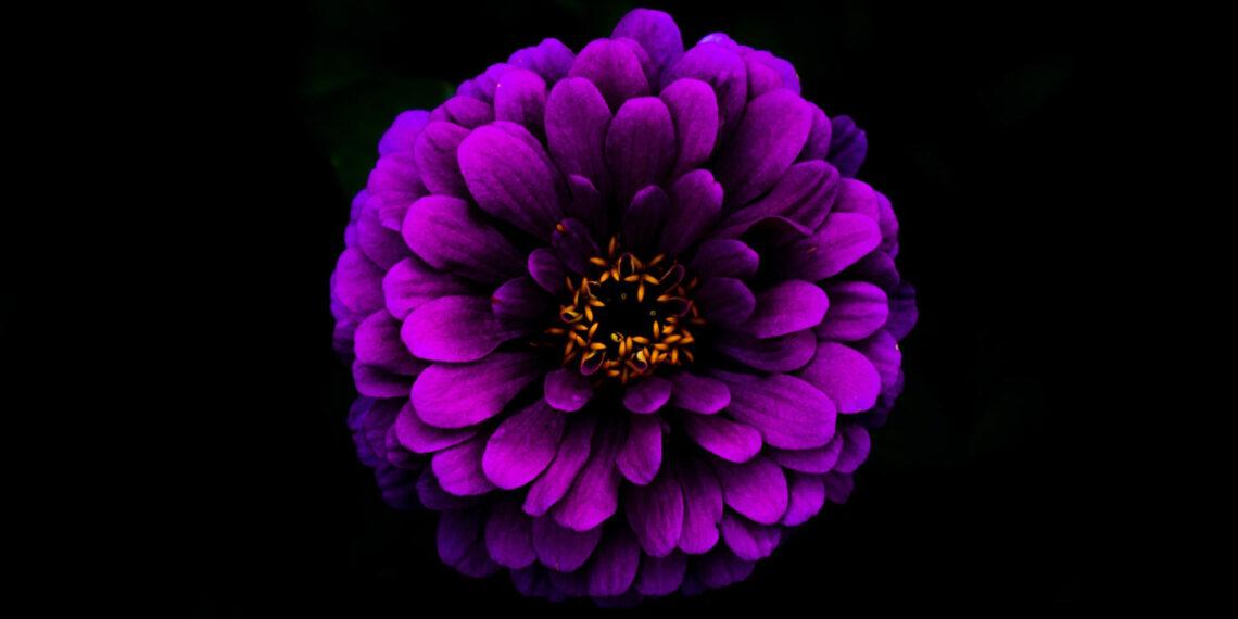 My Black Dahlia Poison Caterpillar, poem by David L O'Nan at Spillwords.com