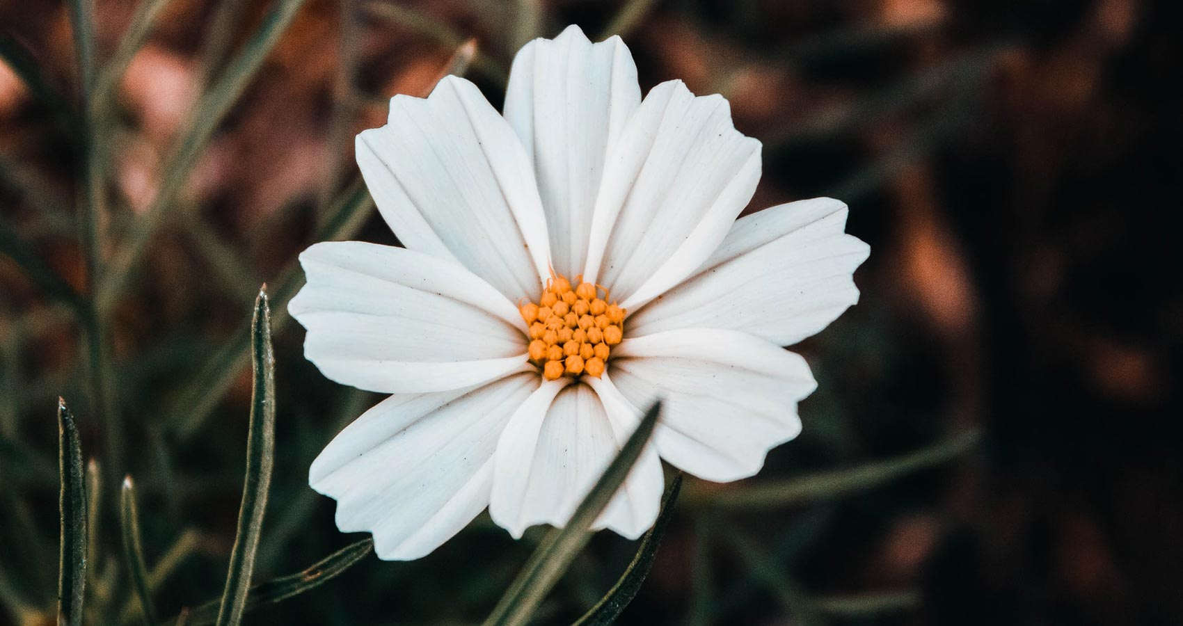 Wildflower, poetry written by Huda Tariq at Spillwords.com