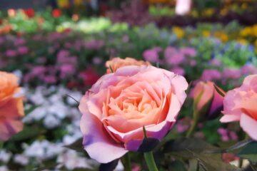 Garden of Roses, a poem by Elizabeth O. Ogunmodede at Spillwords.com