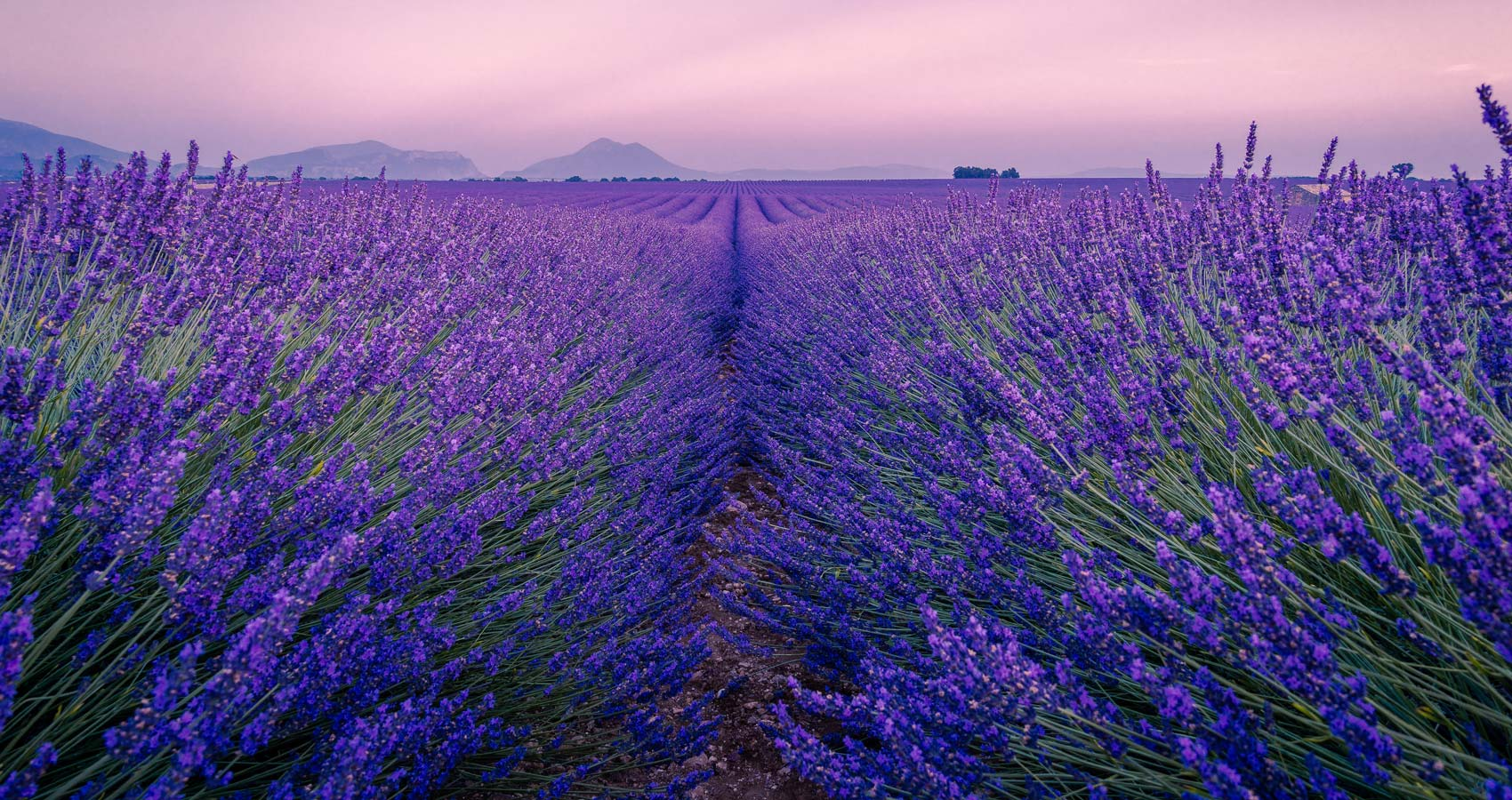 Lavender, a poem written by Roger Turner at Spillwords.com