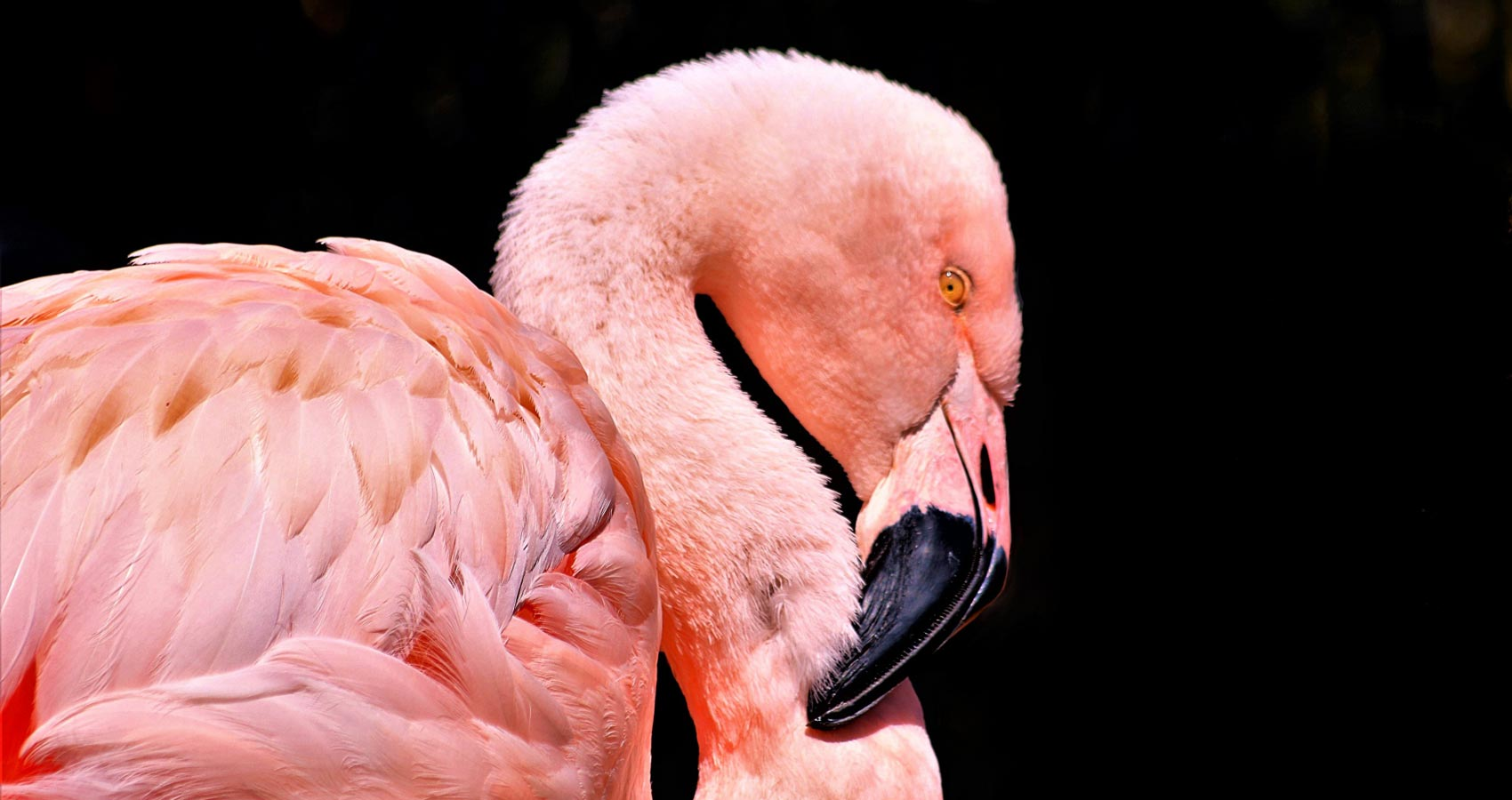 Even A Plain Chicken Could Become A Pink Flamingo One Day, a short story written by Valda Taurus at Spillwords.com