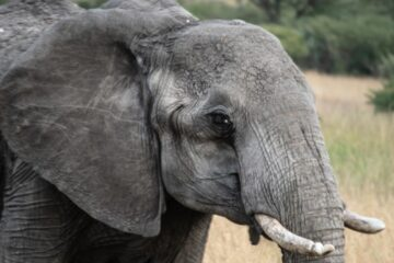 Happy The Elephant, a short story by Bob Laurie at Spillwords.com