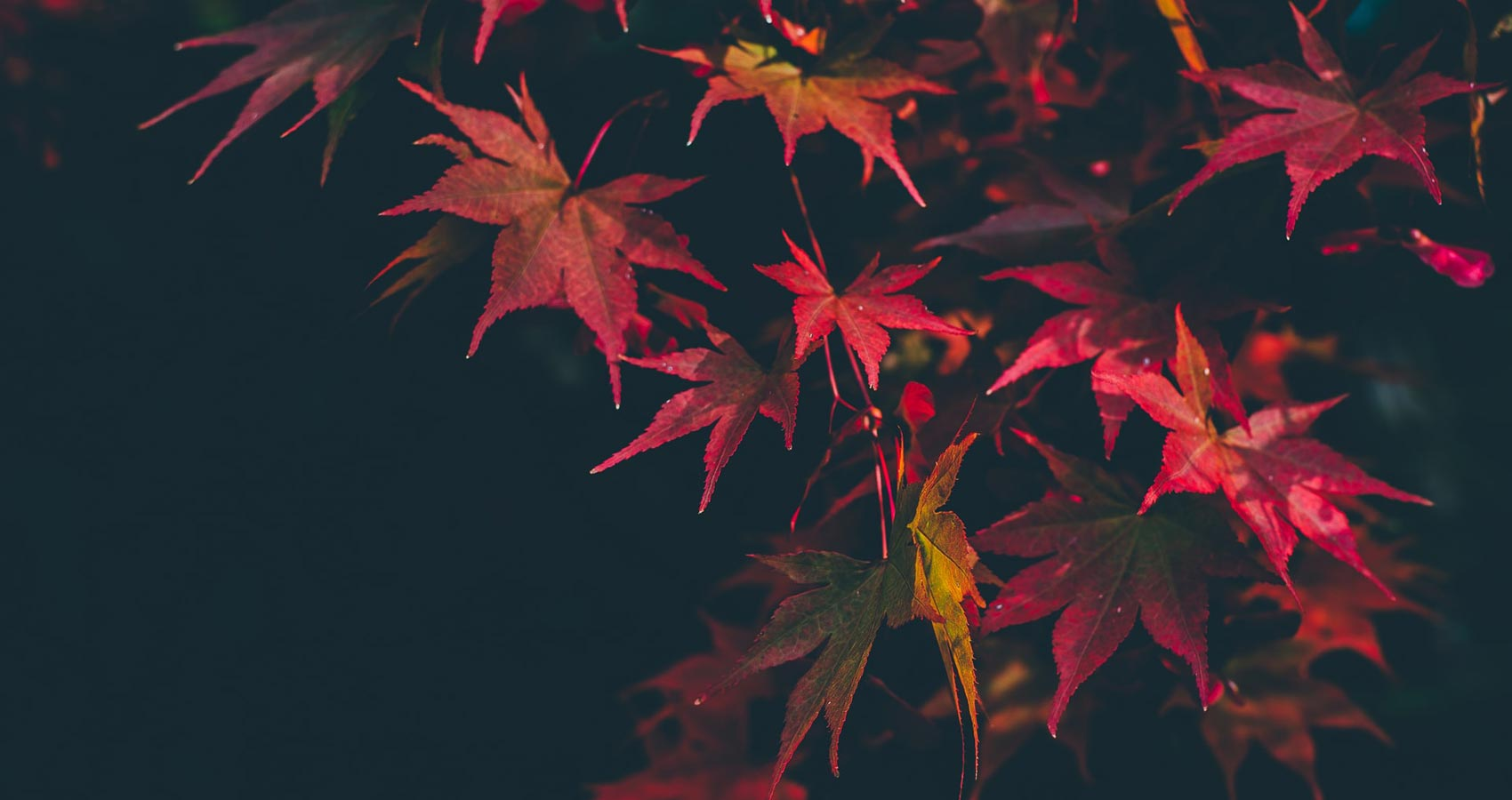 Maple, a poem written by Robert Frost at Spillwords.com