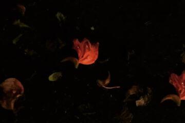 Poppies, a haiku written by Sujatha Warrier at Spillwords.com