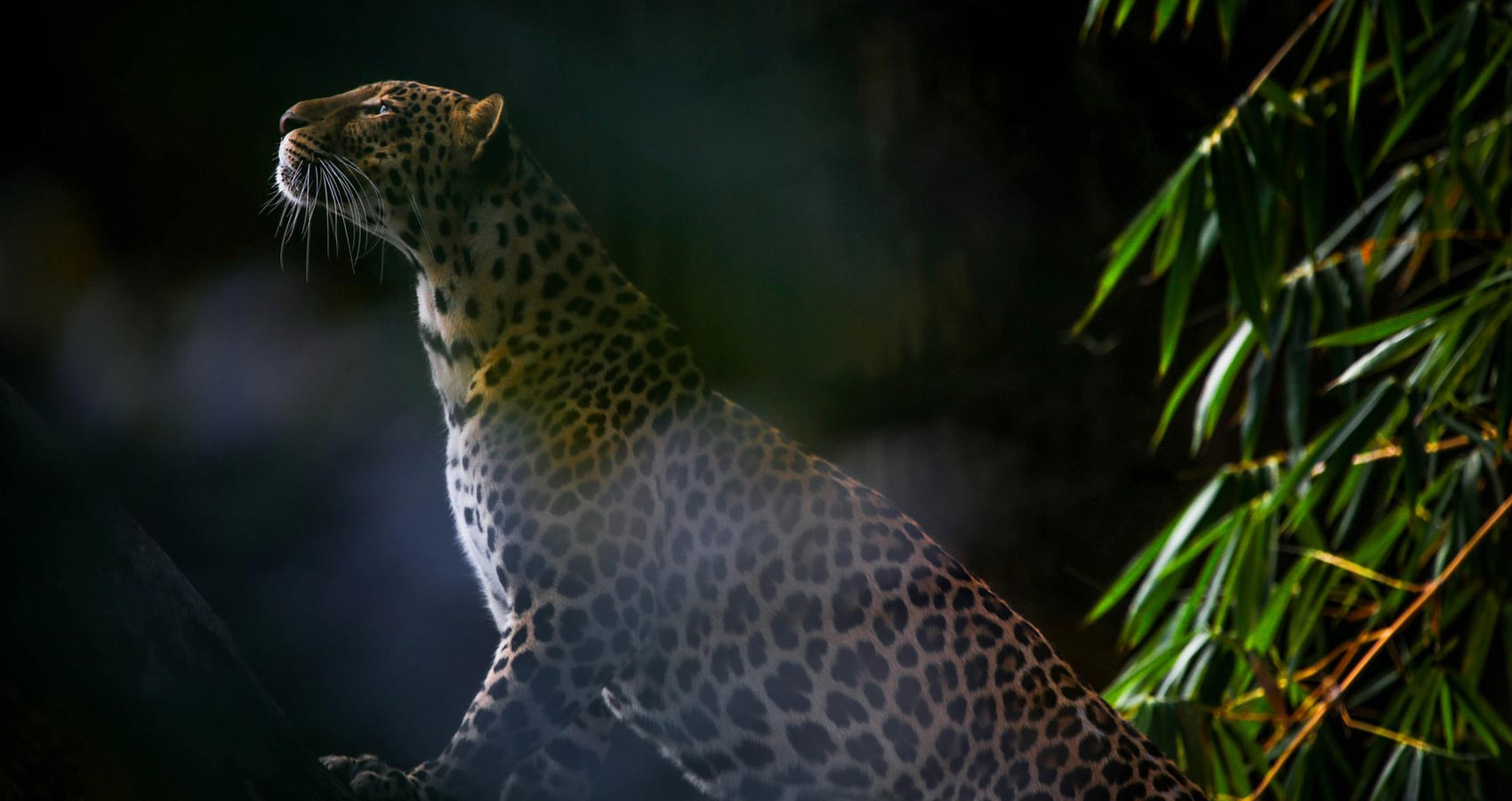 The Spots' Leopard, a poem written by Away With Words at Spillwords.com