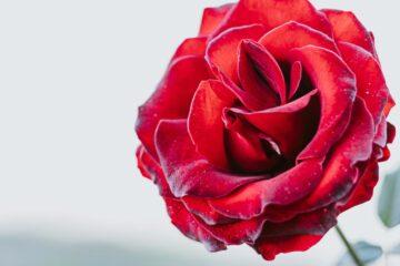 Crimson Rose, a poem by Agnieszka Kuśmierczuk at Spillwords.com