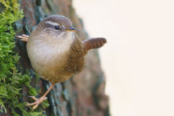 The Wren, a poem by Clive Grewcock at Spillwords.com