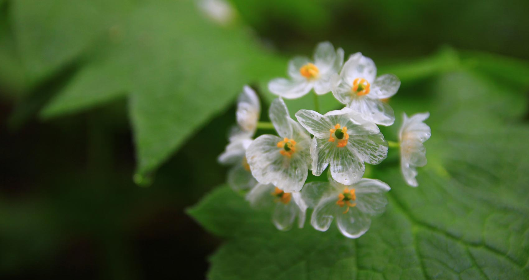 A Song For Diphylleia Grayi, a poem by Tsingtoh at Spillwords.com