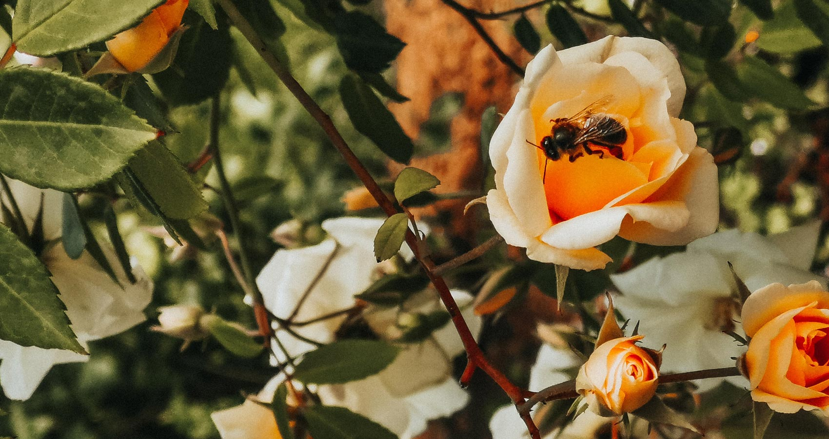 Bee In A Garden Of Roses, a poem by Thaddeus Hutyra at Spillwords.com