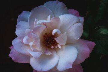 W Ogrodzie Safony, a poem by Marian Rodziewicz at Spillwords.com