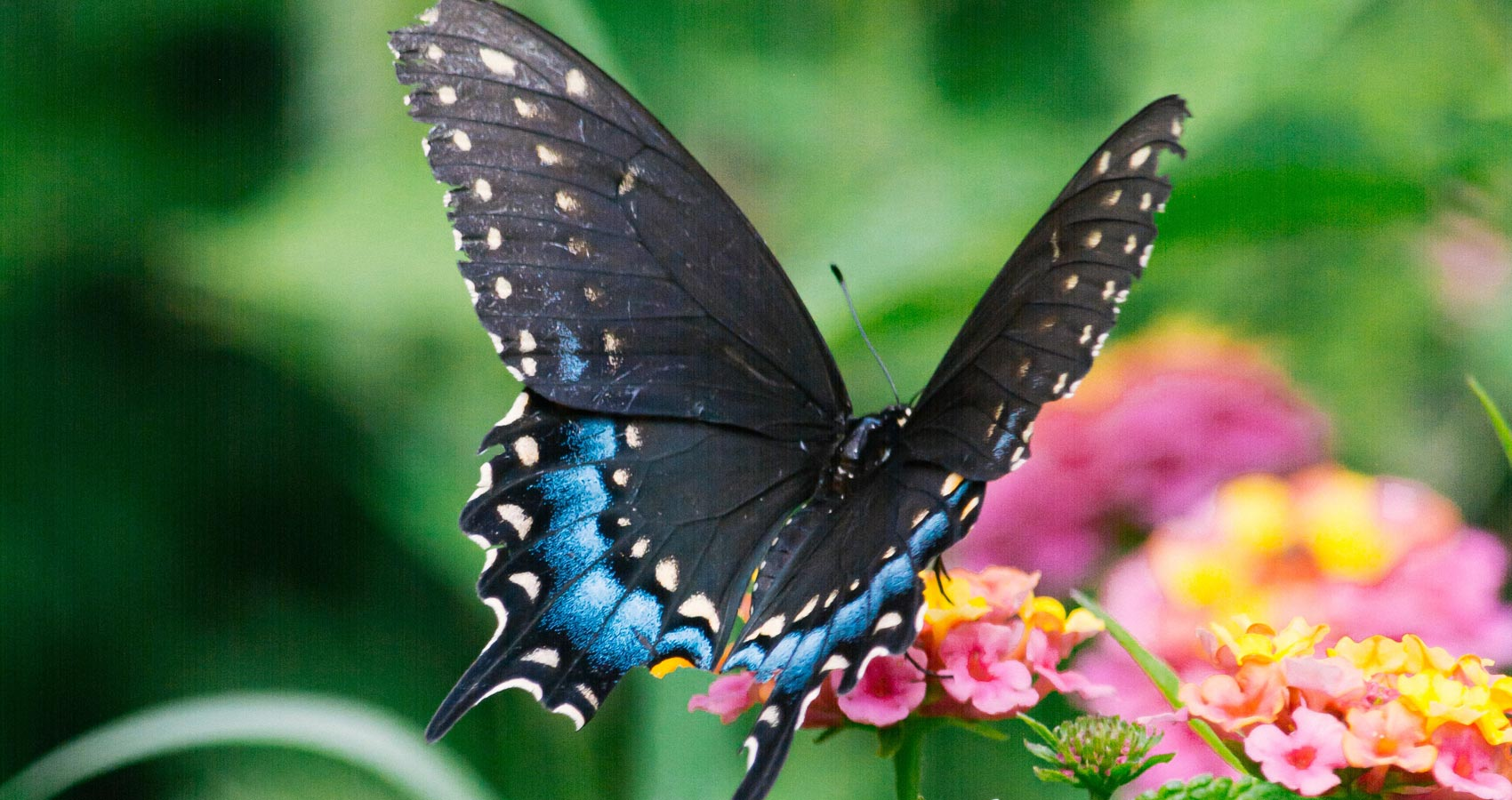 Black Butterfly, poetry by Lorna Jackie Wilson at Spillwords.com