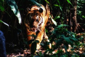 Earning Tigar, a poem by Gerry Stefanson at Spillwords.com