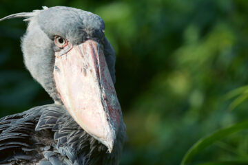 Encounter with a Shoebill, short story by Steve Carr at Spillwords.com