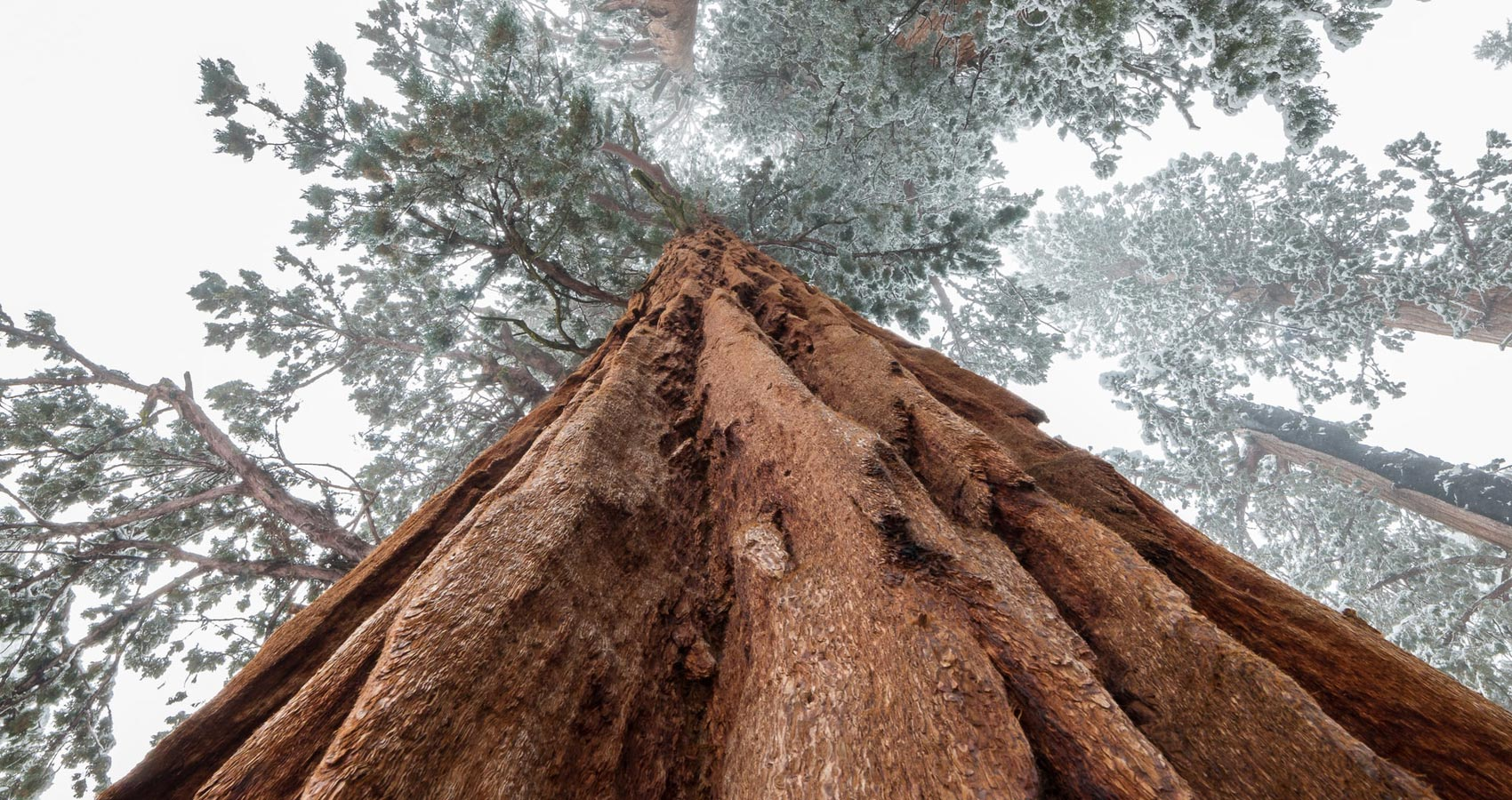 Sequoia, micropoetry written by Kevin Taylor at Spillwords.com